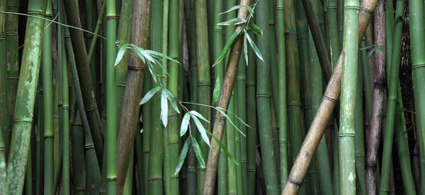Photograph - Tropical Bamboo Forest by Pierre Leclerc Photography