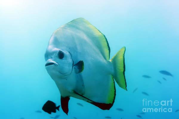Wall Art - Photograph - Tropical Fish Batfish by MotHaiBaPhoto Prints