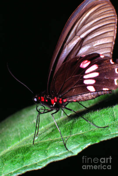 Photograph - Tropical Rainforest Butterfly by Thomas R Fletcher
