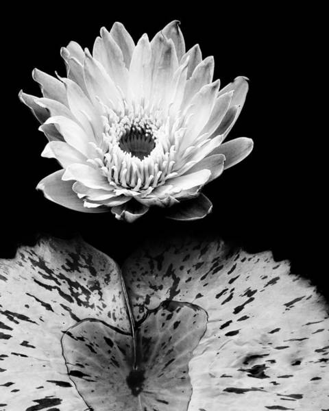 Photograph - Tropical Water Lily In Black And White by Dennis Dame