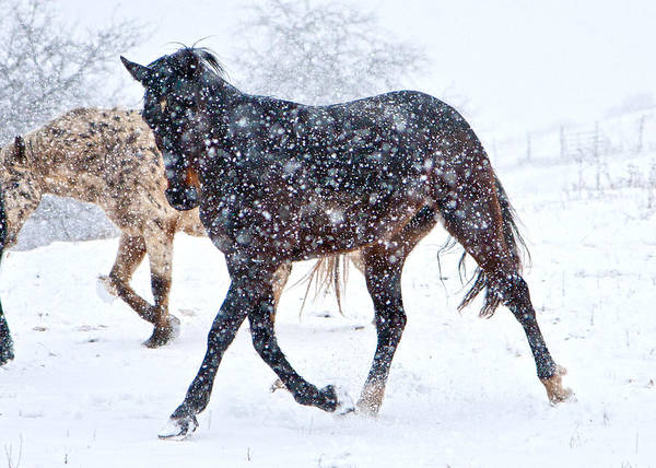 Corral Photograph - Trotting In The Snow by Betsy Knapp