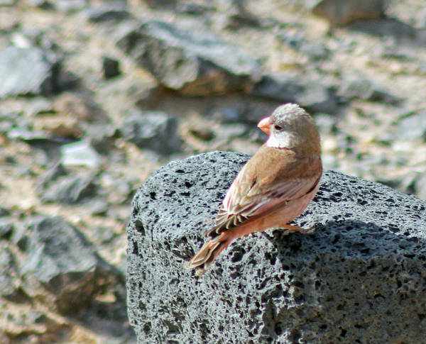 Photograph - Trumpeter Finch by Tony Murtagh