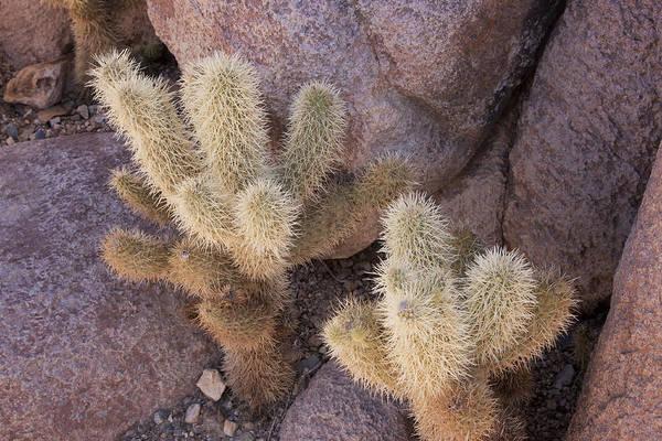 Photograph - Tucson Cacti by Tom Singleton