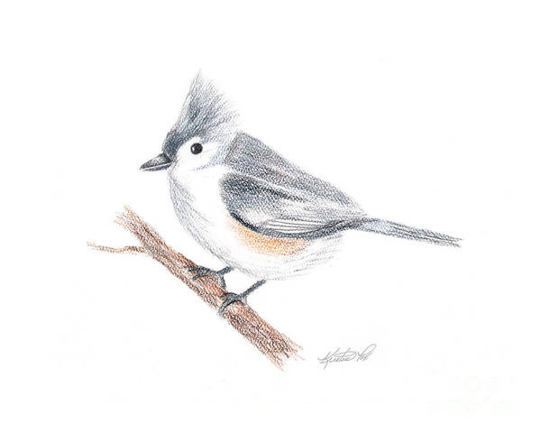 Drawing - Tufted Titmouse Bird by Kristen Fox