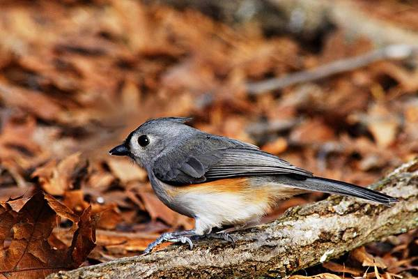 Photograph - Tufted Titmouse by Larry Ricker