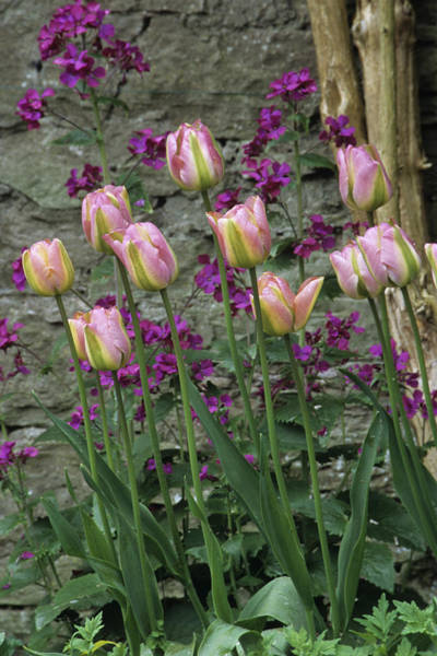 Wall Art - Photograph - Tulip And Honesty Flowers by Archie Young