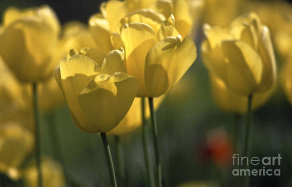 Photograph - Tulip Bed In Yellow by Heiko Koehrer-Wagner