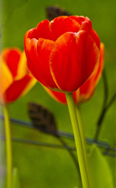 Photograph - Tulip by Bill Barber