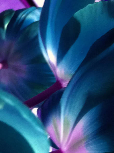 Photograph - Tulip Blues by Kathy Corday