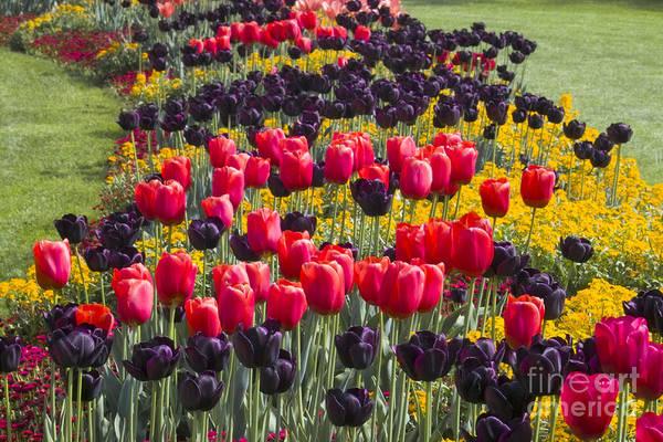 Photograph - Tulip Circle by Heiko Koehrer-Wagner