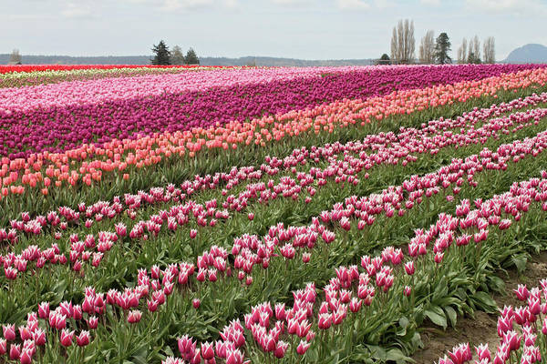 Photograph - Tulip Festival In Mount Vernon Washington by Pierre Leclerc Photography