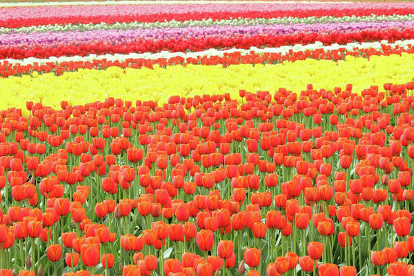 Photograph - Tulip Field by Pierre Leclerc Photography