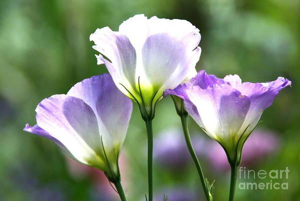 Photograph - Tulip Gentian Flowers by Byron Varvarigos