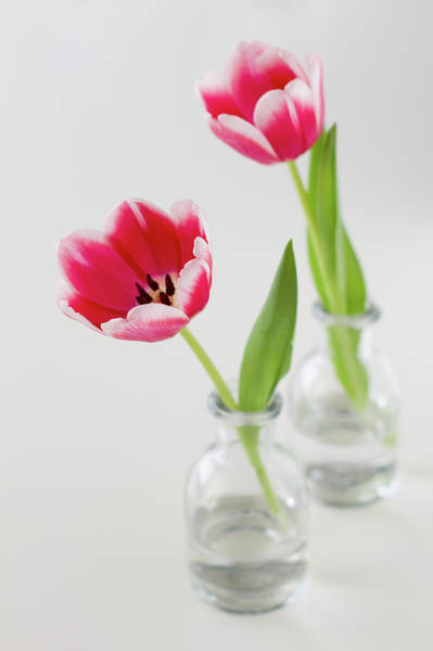 Photograph - Tulip In Vase by Elin Enger
