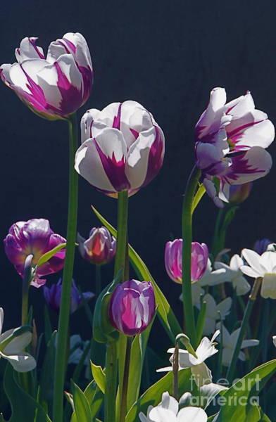 Photograph - Tulip Springtime Memories by Byron Varvarigos