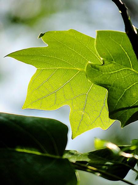 Photograph - Tulip Tree Leaf Veins by Beth Akerman