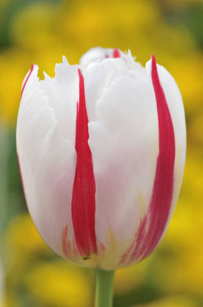 Singly Photograph - Tulip White And Red by Matthias Hauser