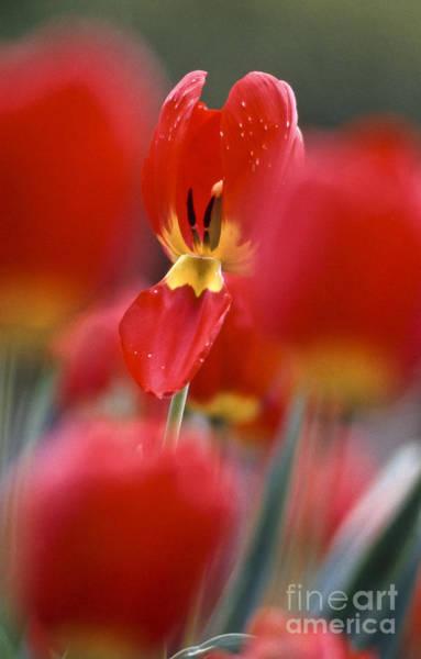 Photograph - Tulipa Blossom by Heiko Koehrer-Wagner