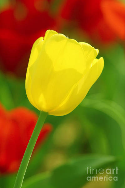 Photograph - Tulipan Amarillo by Francisco Pulido