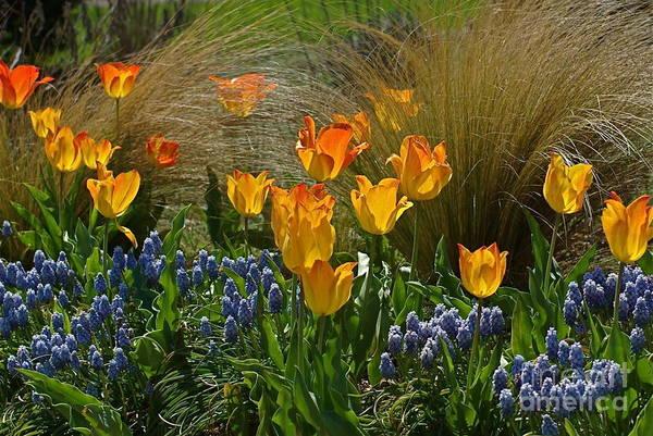Photograph - Tulips And Grape Hyacinths And by Byron Varvarigos