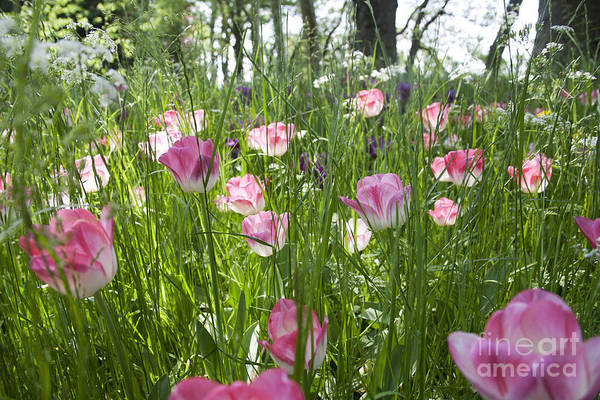 Photograph - Tulips In The Meadow by Heiko Koehrer-Wagner
