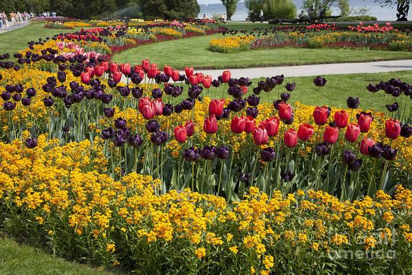 Photograph - Tulips On Island Mainau by Heiko Koehrer-Wagner