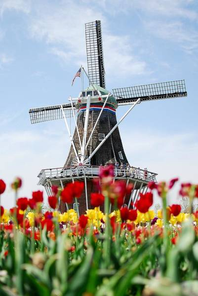 Holland Mi Wall Art - Photograph - Tulips Windmill by Kirk Stanley