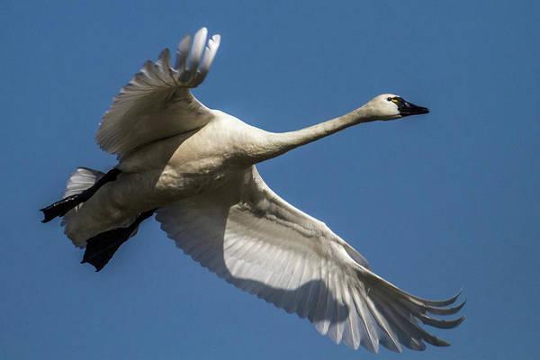 Tundra Swan Photograph - Tundra Swan by Bill Lindsay