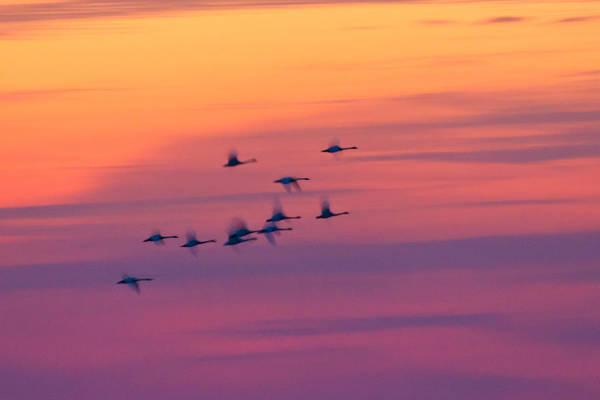 Tundra Swan Photograph - Tundra Swans - Last Flight Of The Day by Bill Swindaman