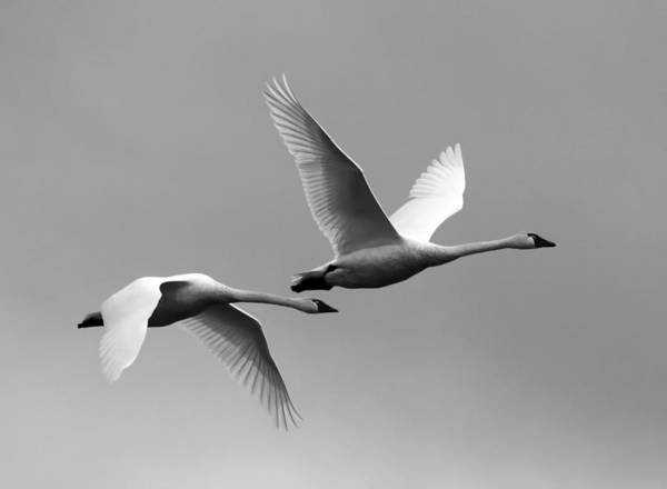 Tundra Swan Photograph - Tundra Swans by Angie Vogel