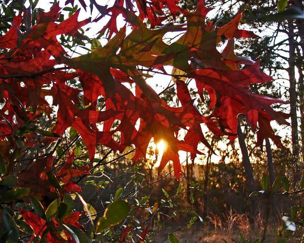 Photograph - Turkey Oak At Sunset by Peg Urban