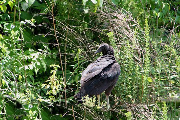 Photograph - Black Vulture - Buzzard by Ericamaxine Price