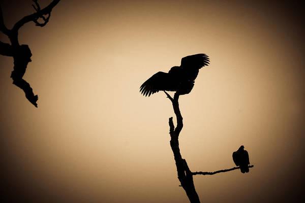 Photograph - Turkey Vultures by Emanuel Tanjala