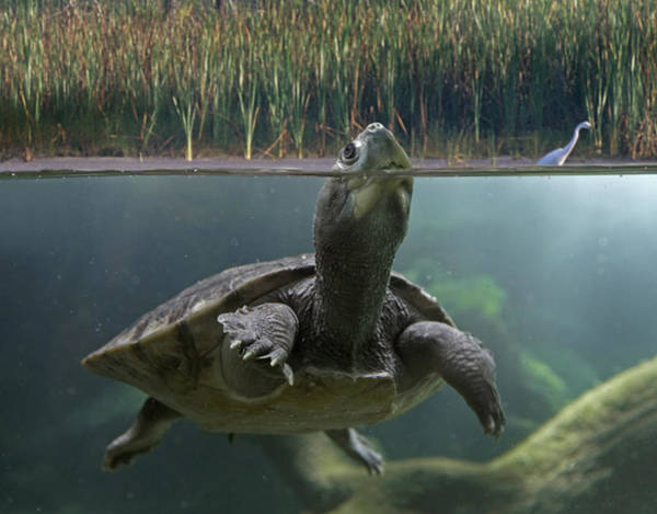Jurong Bird Park Photograph - Turtle Breathing At Surface Jurong Bird by Tim Fitzharris