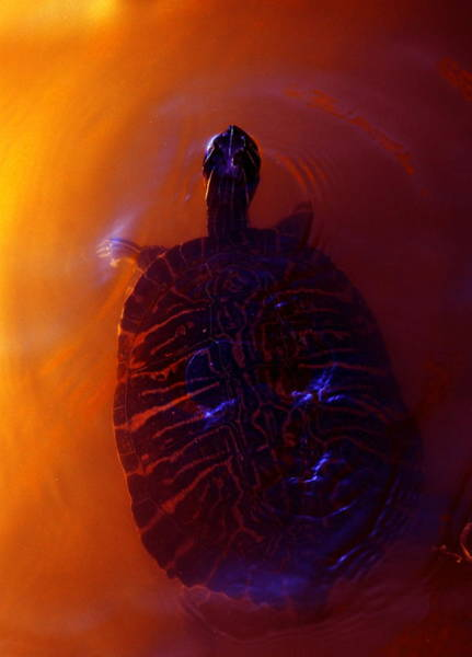 Photograph - Turtle In Florida  by Ellie Perla
