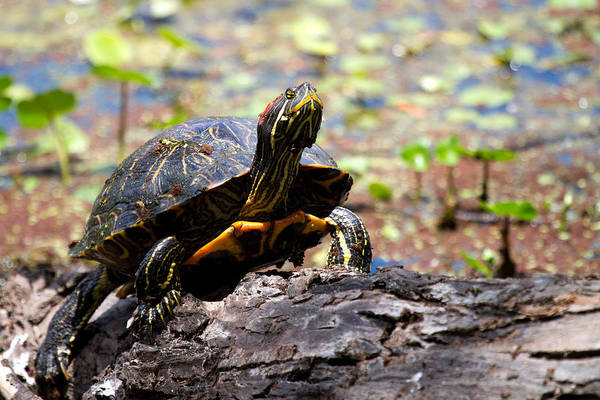 Photograph - Turtle by Jason Smith