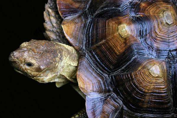 Photograph - Turtle by Kristin Elmquist