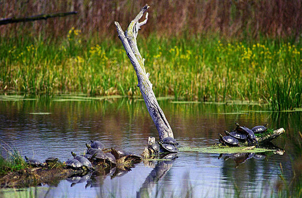 Photograph - Turtles Warming In The Sun by Emanuel Tanjala