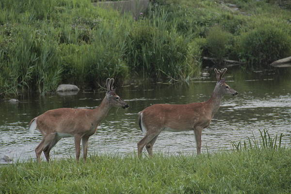 Photograph - Twin Bucks by Jim Lepard