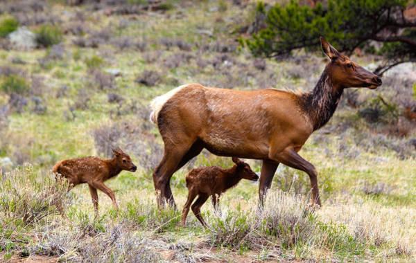 Photograph - Twin Elk Calves by Shane Bechler