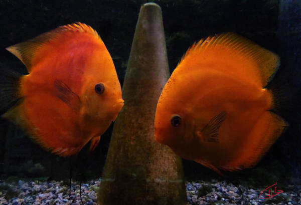 Photograph - Twin Friends Malboro Fish  by Colette V Hera  Guggenheim