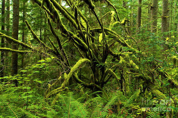 Photograph - Twisted Rain Forest by Adam Jewell