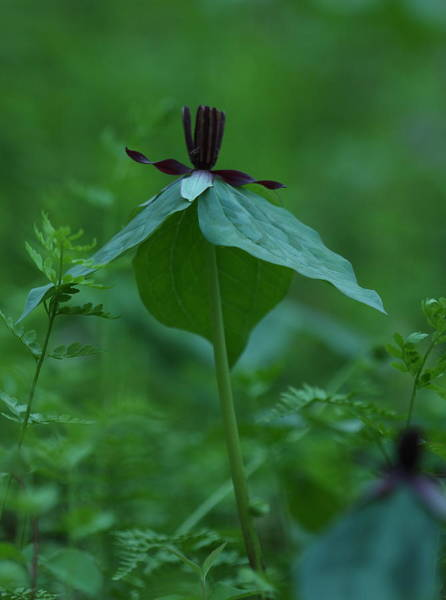 Photograph - Twisted Trillium by Daniel Reed