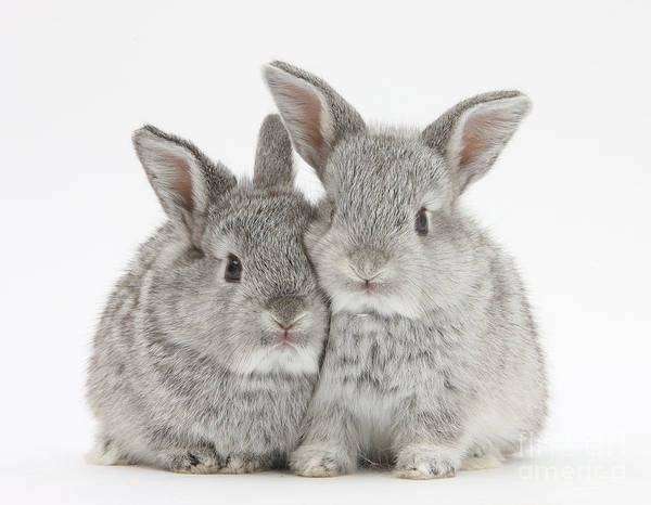 Photograph - Two Baby Silver Rabbits by Mark Taylor