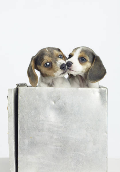 Wall Art - Photograph - Two Beagle Puppies Kissing, Close-up, Portrait by American Images Inc