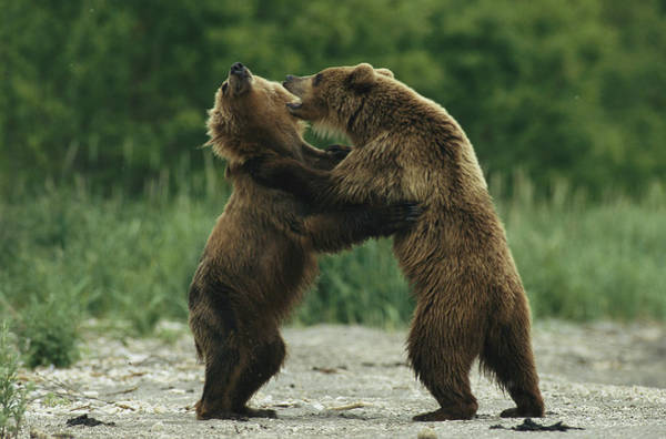 Kamchatka Photograph - Two Brown Bears Fighting While Standing by Klaus Nigge