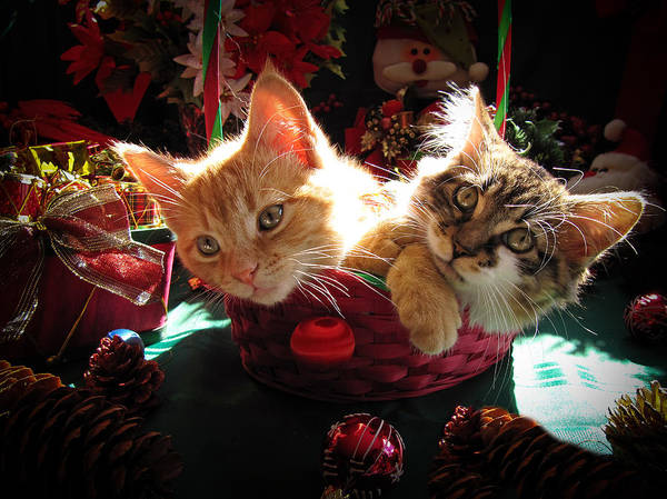 Photograph - Two Cat Heads Are Better Than One - Anxious Christmas Kittens Kitties Waiting For Their Xmas Present by Chantal PhotoPix