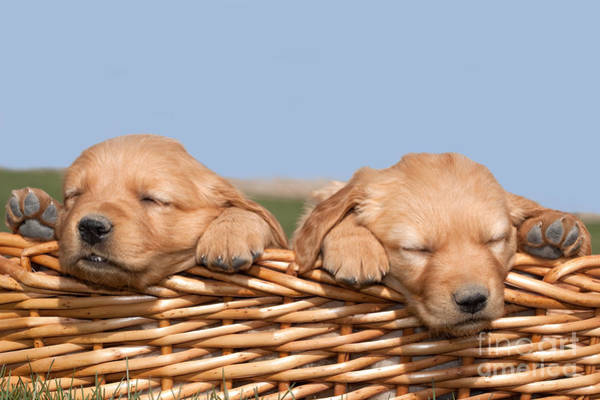 Photograph - Two Cute Puppies Asleep In Basket by Cindy Singleton
