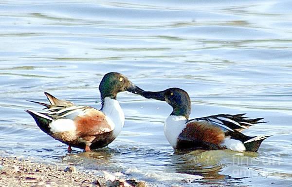 Photograph - Two Ducks Kissing by John  Kolenberg
