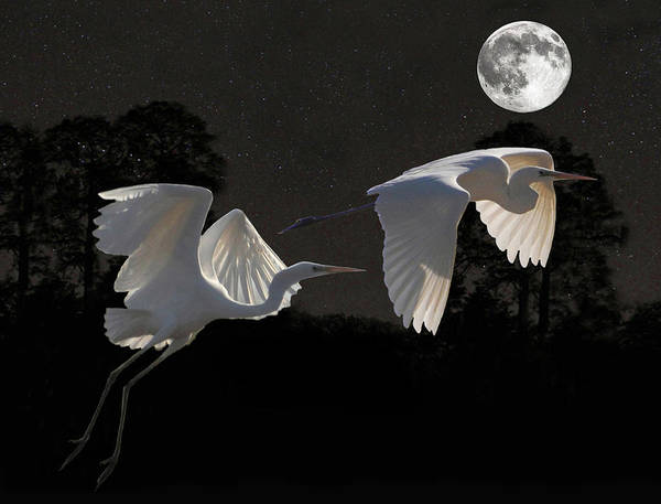 Barn Owl Mixed Media - Two Great Egrets  by Eric Kempson